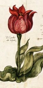 il.11.  Tulipan fragment z katolgu Ottomania